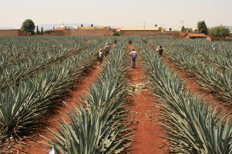 Tequila Tromba Blue Agave Field