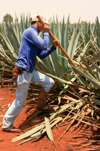 Tequila Tromba Agave Field